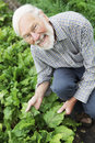 Organic Farmer Inspecting Beetroot Crop Stock Photos