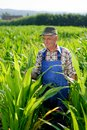 Organic farmer looking at sweetcorn in a field model is real farm worker Stock Photo