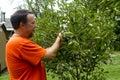 Organic Farmer Picking Sweet Cherries Royalty Free Stock Photo