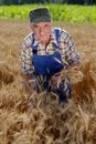 Organic farmer standing in a wheat field looking at the crop model is real farm worker Royalty Free Stock Photography