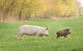 Organic feeding white yorkshire pig and wild boar walking on meadow Royalty Free Stock Image