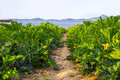Organic field of zucchini in Italy