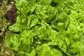Organic food hydroponic green letuce Stock Photo