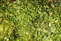 Organic fresh bunch of parsley, natural  look on a market in Arequipa, Peru Royalty Free Stock Photo