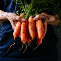 Organic fresh harvested vegetables. Farmer`s hands holding fresh carrots, closeup. Square crop Royalty Free Stock Photo