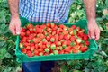 Organic fruit production. Farmer holding crate full of fresh strawberries. Royalty Free Stock Photo