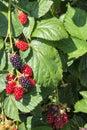 Organic Garden Blackberries Ri...