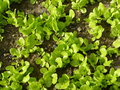 Organic garden salad plants lettuce in an Stock Images