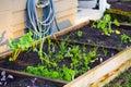 Organic Gardening Royalty Free Stock Photo