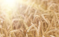 Organic golden ripe ears of wheat in field Royalty Free Stock Photo