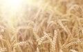 Organic golden ripe ears of wheat in field Royalty Free Stock Photo