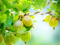 Organic gooseberry growing fresh and ripe gooseberries Stock Image