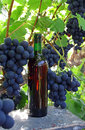Organic grapes and wine a bottle of situated in an vineyard Royalty Free Stock Photo