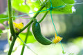 Organic green cucumber yellow flower closeup. Beautiful blurred background greenhouse. Selective focus Royalty Free Stock Photo