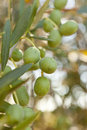 Organic Green Olives on an olive tree Stock Photography