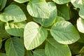 Organic green soybean plants close-up Royalty Free Stock Photo