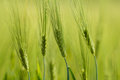 Organic green spring grains with shallow focus detail of Royalty Free Stock Photo