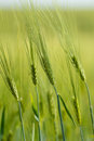 Organic green spring grains with shallow focus detail of Stock Photos