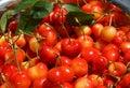 Organic hand picked cherries cherry harvest in plate Stock Image