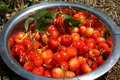 Organic hand picked cherries cherry harvest in plate Stock Images
