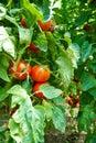 Organic Homegrown Tomatoes Stock Image