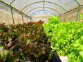Organic hydroponic vegetable garden the lettuce grown Royalty Free Stock Image