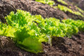 Organic lettuce growing in the garden row of green on a sunny spring day Royalty Free Stock Photo