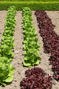 Organic Lettuces Royalty Free Stock Photos