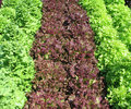 Organic lettuces in a garden Royalty Free Stock Photography