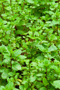 Organic Mint Royalty Free Stock Image