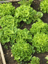 Organic oakleaf lettuces Royalty Free Stock Photography
