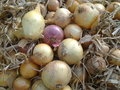 Organic onion picture of a Royalty Free Stock Image