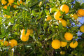 Organic orange tree. Stock Images