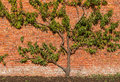 Organic Peach Tree On Brick Wall