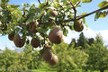 Organic Pears Stock Photography