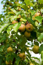 Organic pears branch of pear tree with juicy fruits vertical selective focus Stock Photos