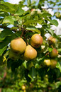 Organic pears branch of pear tree with juicy fruits vertical selective focus Royalty Free Stock Photo