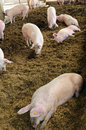 Organic pig farm with large pigs Royalty Free Stock Photos