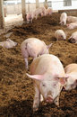 Organic pig farm with large pigs Stock Image