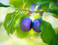 Organic plums growing ripe in orchard Royalty Free Stock Image