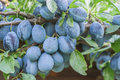 Organic plums on tree branch Stock Photo