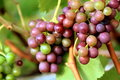 Organic red grapes on branch Stock Image