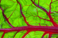 Organic Red Swiss Chard Leaf Detail Royalty Free Stock Photo