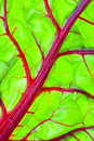 Organic Red Swiss Chard Leaf Detail Royalty Free Stock Images