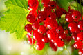 Organic redcurrant growing ripe and fresh red currant berries Stock Photo