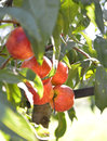Organic ripe peaches on branch pic of Royalty Free Stock Photos