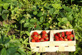 Organic strawberries on field Royalty Free Stock Photo