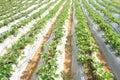 Organic strawberries field Royalty Free Stock Photo