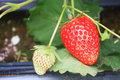 Organic strawberries field Royalty Free Stock Photo