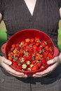 Organic strawberries freshly harvesting and holding by attractiv a standing young attractive women into hands a colander of put on Stock Photography